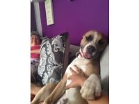 American bull dog puppy for sale