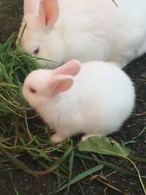 White beautiful Rabbits baby with red eyes