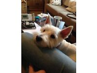 Hello! Professional Single Lady Looking For Westie Friendly House Share With Other Dog Lovers!