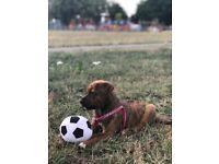 Bullweiler puppy for sale
