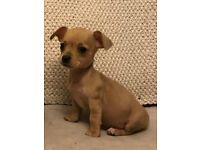 4 Chihuahua puppies available