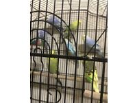 Baby budgies for sale (show birds)