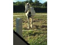 2 cob yearling colts for sale