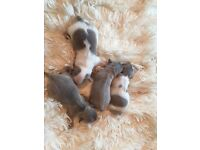 Kennel club registered chihuahua puppies