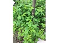 BLACKCURRANT BUSHES FOR SALE AND LARGE HOLLY TREE