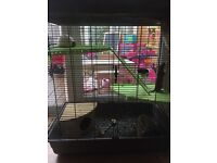 3 male rats with 3 storey cage