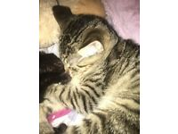 missing tabby cat in hartcliffe area