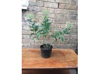 Large Sedum Plant