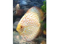 Discus fish pair + 1 young