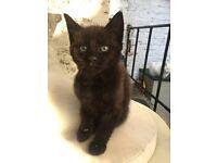 Black loving kitten female