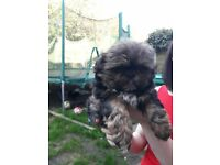 very special imperial shih tzu male