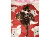 Boy&Girl gorgeous kittens(READ DESCRIPTION)