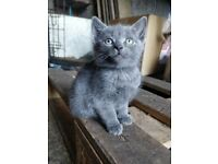 SOLD 2 grey female kittens for sale