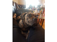 Cane Corso Dogs Puppies For Sale Gumtree