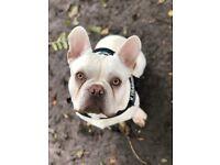 Beautiful french bulldog for sale