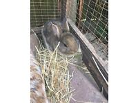 2 Brown Netherland Dwarf Baby Rabbits For Sale