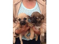 Shih tzu cross poodle puppys