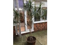 Large Dragon Tree Plant