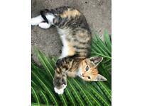 Calico Tabby ginger rare kitty ready now