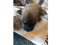 Jackador puppies