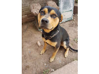 Stunning 1 Year Old Rottweiler Cross