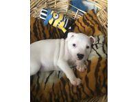 White staffie pup