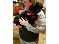 Yorkie/Apso Puppies
