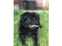 Only 1 KC registered Pug Pup/Puppies left