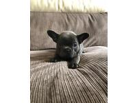 Beautiful KC registered solid blue French bulldog puppies