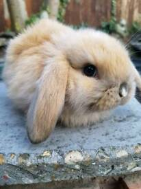Pure Breed Baby Bunny for sale