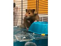 * Hamster for sale need gone ASAP *