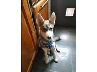 6 month old husky for rehoming