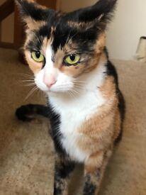 Tortishell cat needing new home