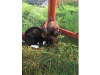 2 beautiful velvet Rex rabbits for sale 4 months old