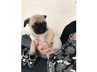 Pug puppies ready to leave now