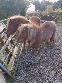 Shetland ponies free to good home