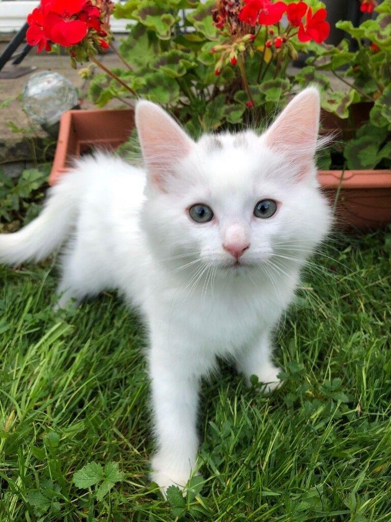 3cecbe4bbc stunning pure white Turkish angora kittens and one black
