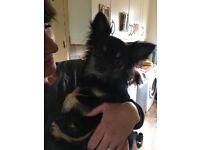 Chihuahua dog 2.5 years old