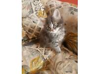 Beautiful Fluffy Grey Long haired Kitten Male