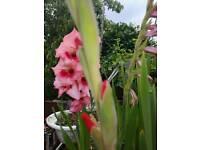 Plant - Flowers - Bulbs