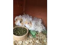 Guinea pig boys long hair 6 Months old pets