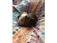 Babys Guinea Pigs for sale