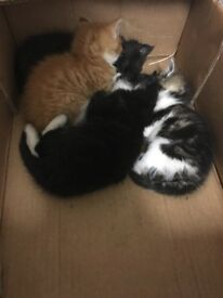 Fluffy Maine coon kittens for sale