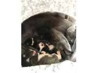 Beautiful Kittens - Russian Blue/ British Shorthair Cross