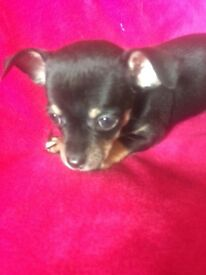 2 girl chihuahua puppy's for sale ready now 8weeks old