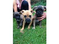 French bull dog cross pug pups for sale