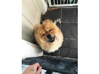 Male and female chow chow
