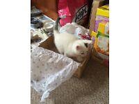 Turkish Van Kitten for Sale