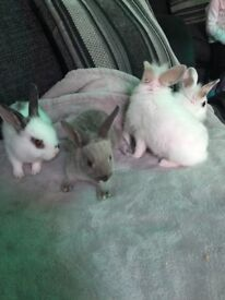 Baby rabbits for sale 8 weeks old very friendly