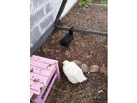 2 bantam hens for sale